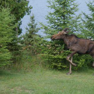 Rick Barnes – Moose w/ Bull Dog